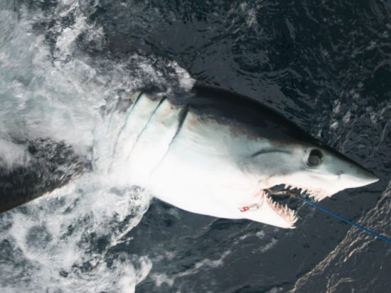 A shark caught in the water.